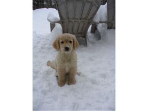 golden retriever puppies for sale in missouri white golden retriever puppies for sale by breeders in missouri image breeds picture