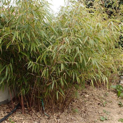 Taille Bambou Fargesia by Bambou Fargesia Planter Et Bouturer Ooreka
