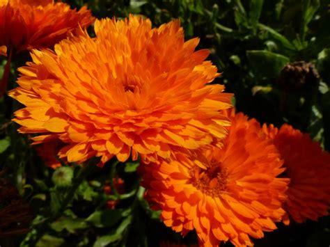 new year marigold flower calendula officinalis nana candyman orange seeds 163 2 15