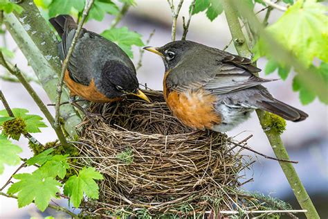 art lander s outdoors the american robin migratory