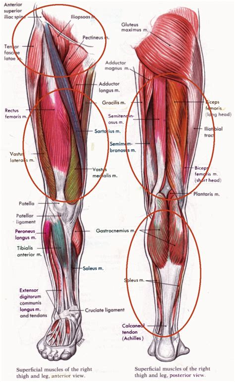 diagram of knee knee tendon anatomy human anatomy diagram
