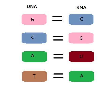 Dna To Rna Lab Part 2 Sabinebiology Rna Sequence From Dna Template