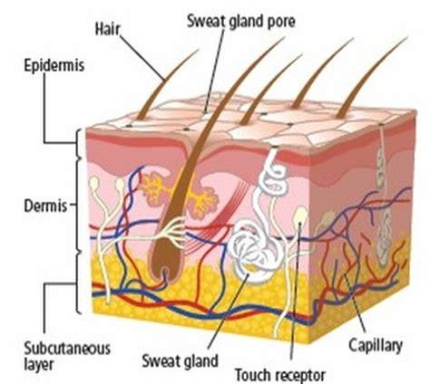 section 36 3 the integumentary system image gallery skin system