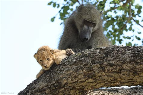 baboon kidnaps lion cub africa geographic