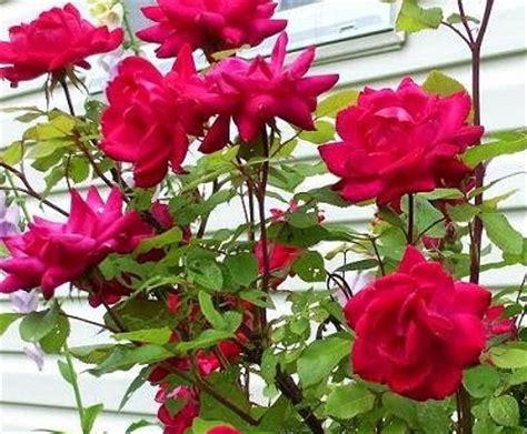 Benih Bunga Matahari Murah aneka benih tanaman bunga mawar dan bunga matahari