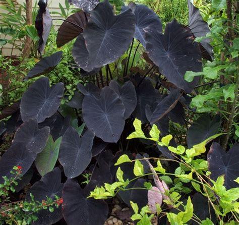 Tanaman Hias Keladi Hitam black taro jual tanaman hias