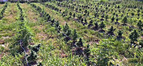 best outdoors blogs outdoor autoflower grow guide autoflowering cannabis