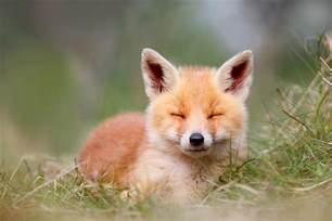 Cute Duvet Happy Baby Fox Photograph By Roeselien Raimond