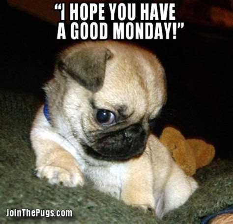 happy pug pictures join the pugs gt pugs are happy every day