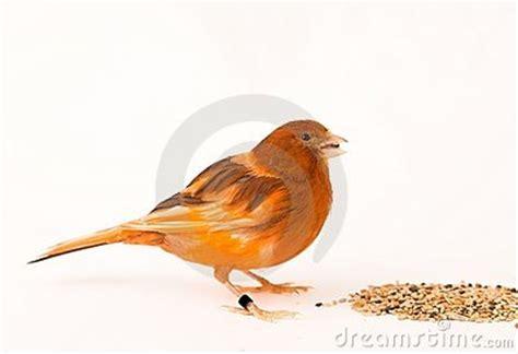 rhinelander canaries stock photo royalty canary bird female royalty free stock photo image 4086285