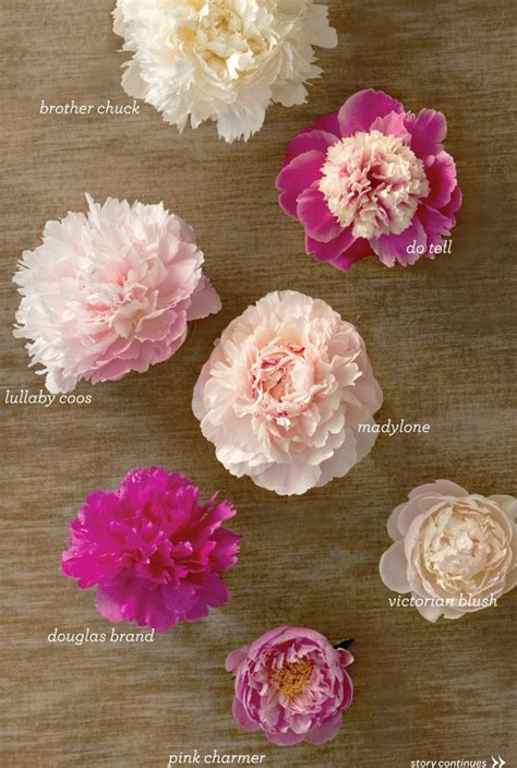 different types of peonies gardening pinterest