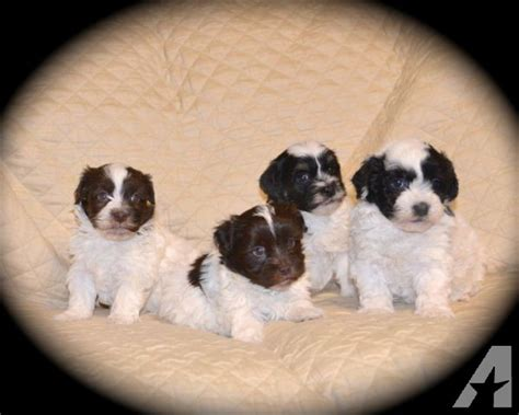 havanese breeders washington havanese puppies purebreed 7week for sale in grandview washington classified