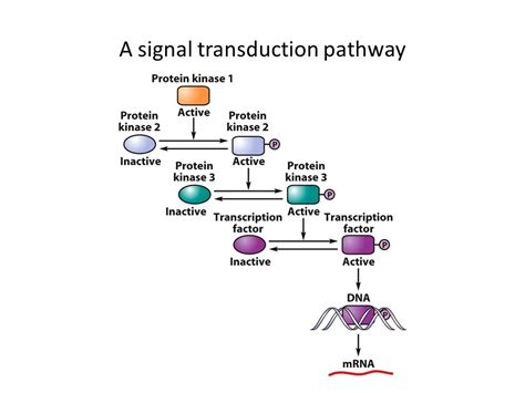 g protein signal transduction pathway cell signaling and signal transduction communication