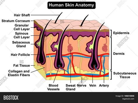 human skin stock photo 169 chaoss 1695911 human skin anatomy cross section image photo bigstock