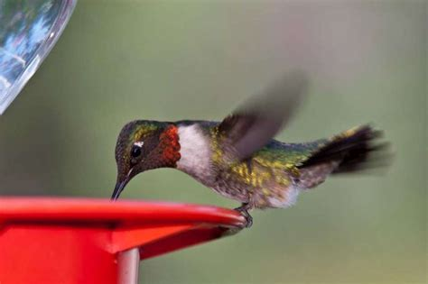 hummingbirds never fail to fascinate houston chronicle