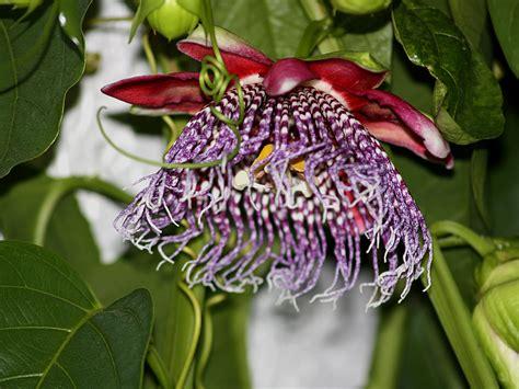 passiflora alata p x decaisneana p phoenicea and p quadrangularis comparison