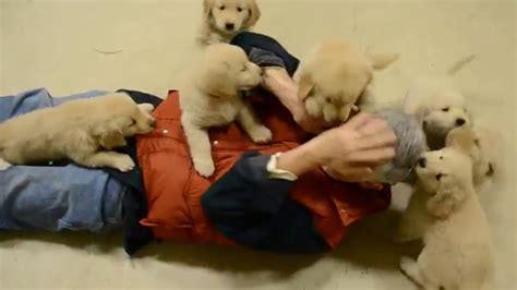 golden retriever attacks statistics golden retriever puppies attack
