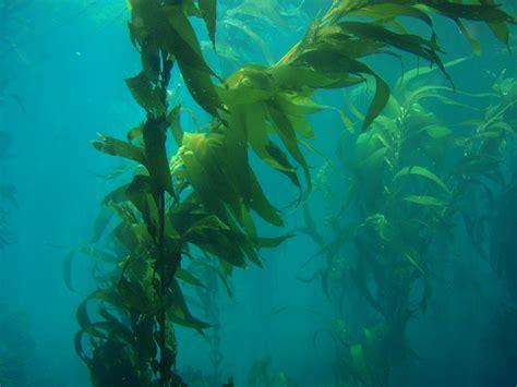 the in the kelp no 2992 algae