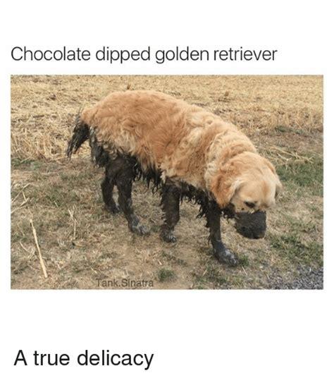 golden retriever meme golden retriever memes www imgkid the image