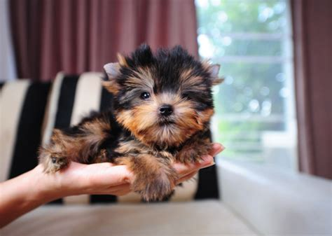 most popular yorkie names the most popular and puppy names of 2015