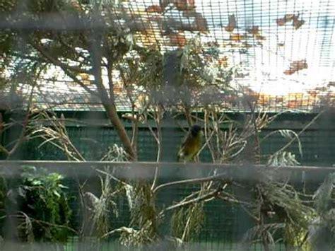 allevare cardellini in gabbia allevamento in voliera