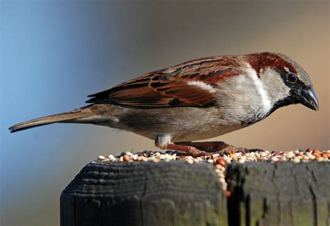 top 28 house sparrow lifespan house sparrow reddish