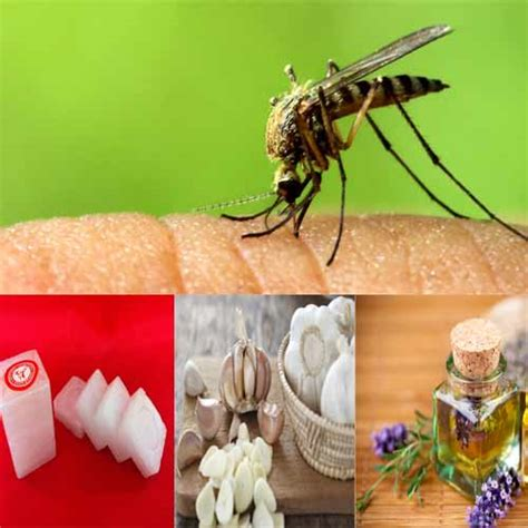 how to keep mosquitoes away from house 5 natural ways to keep mosquitoes away from home slide 1 ifairer com