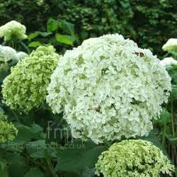 a big photo of hydrangea arborescens from findmeplants