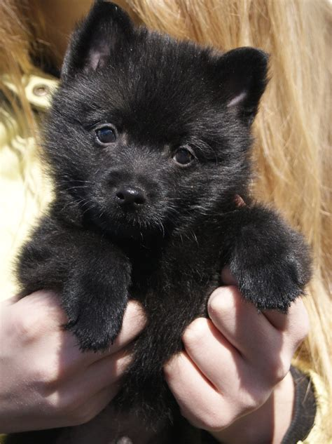 schipperke puppies schipperke puppy photo and wallpaper beautiful schipperke puppy pictures