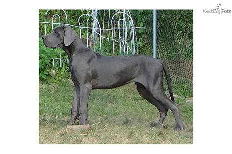 great dane puppies for sale in ct frenchton puppies for sale near ct breeds picture