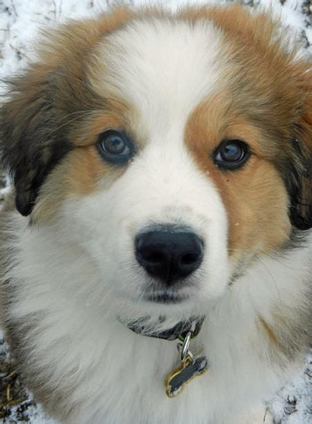 great bernese mountain 75 best bernese mountain great pyrenees images on awesome dogs pyrenees