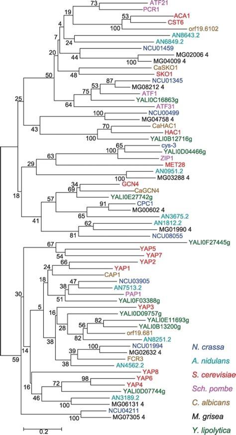 phylogenetic analysis of the bzip tf gene family in asc