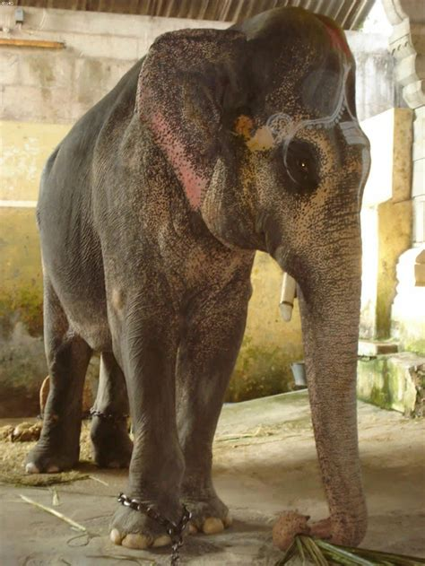 elephant biography in hindi 44 besten indian elephant bilder auf pinterest elefanten