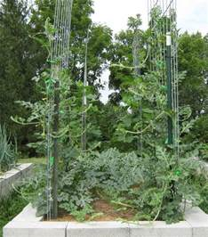Squash Trellis Growing Watermelon On Trellises Abundant Mini Gardens