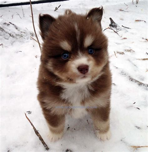 images of pomsky puppies pomsky puppies snow so