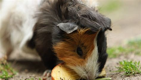 vitamin c vegetables for guinea pigs foods for guinea pigs that are high in vitamin c animals
