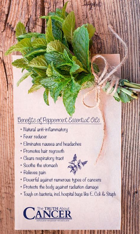 A Powerful Peppermint by 13 Ways Peppermint Essential Is For Your Health