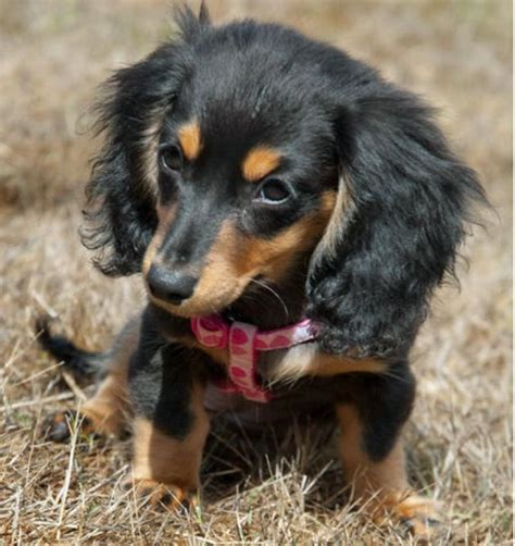 doxon puppy baby doxon wiener dogs