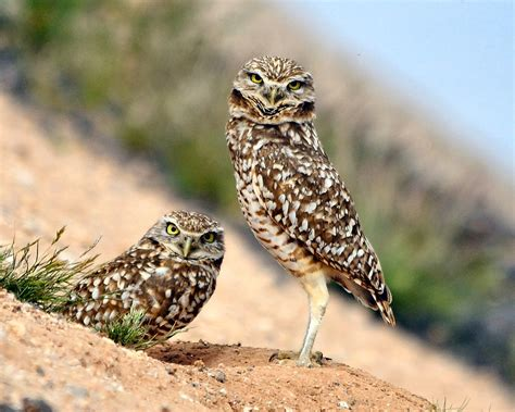 Piyama Owl Green New 1 burrowing owls frugalchariot s