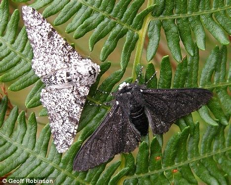 Peppered Moth scientists pinpoint single gene mutation that turned