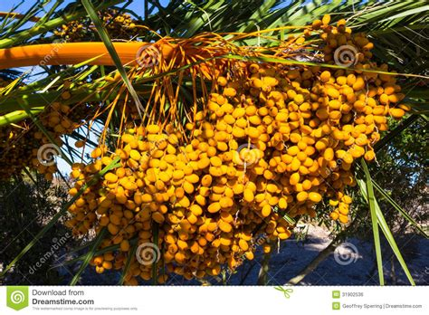 edible palm tree fruit large bunch of yellow palm date fruits on palm tree