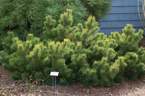 mugo pine trees select mops for a cultivar