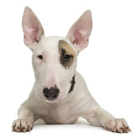 Bull Terrier Shedding by 10 Best Dogs For Grandparents