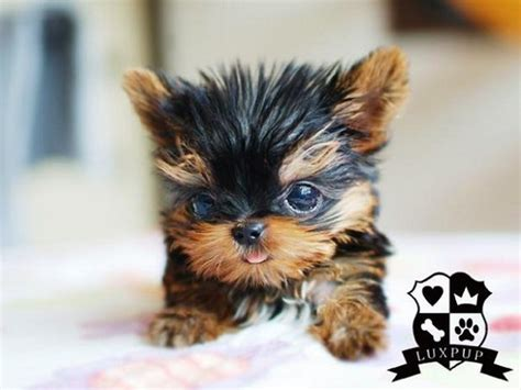 smallest teacup yorkie in the world teacup yorkie flickr photo