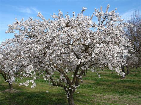 mandorli in fiore sagra mandorlo in fiore