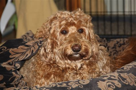 mini labradoodles massachusetts wool labradoodles labradoodle breeders in