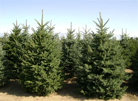 christmas tree farms boise