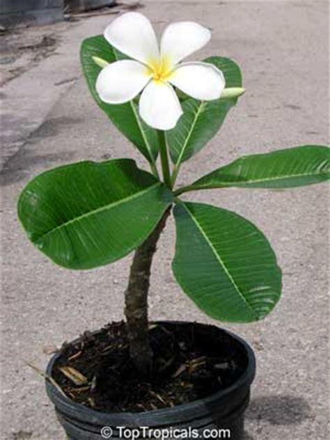 plumeria obtusa singapore plumeria toptropicalscom