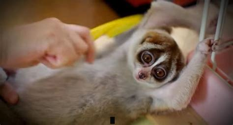 tickling slow loris youtube craze slammed by animal