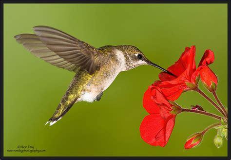 flying ruby throated hummingbird at geranium